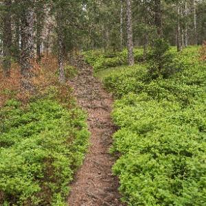 Waldkante-mit-Blaubeeren5fy9QtEVY7QhO