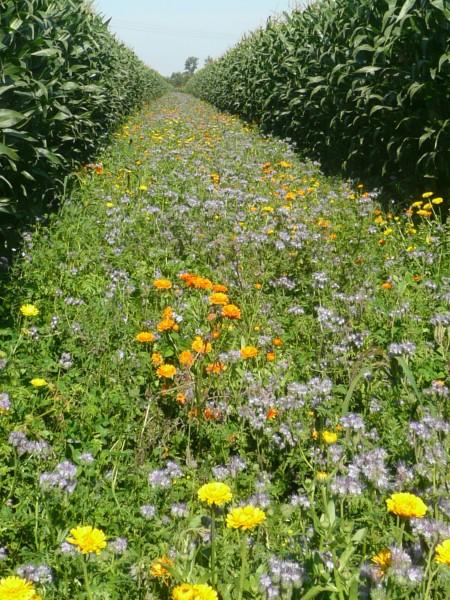 Pflanzensaat Blühschneise niedrig